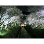 三井寺と琵琶湖疏水は三分咲き