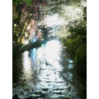 祇園白川巽橋・宵桜は満開