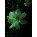 クチナシの花は夜道でも雄弁