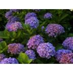 今夜は紫陽花が綺麗