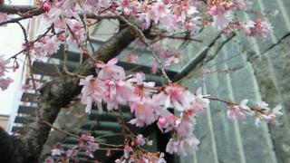 風にふるえる寒桜は満開