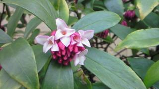 沈丁花の香りは濃い目