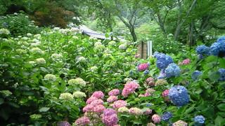 大和郡山市の矢田寺・紫陽花の迷宮