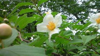 沙羅双樹の花はこれ