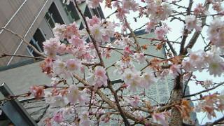 中京区柳馬場御池の御池桜が満開