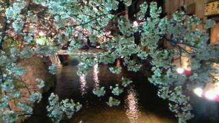 祇園新橋の夜桜はやはり格別