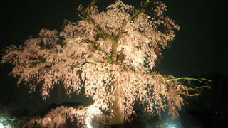 円山公園のしだれ桜・花王と書いてさくらと読むんだった