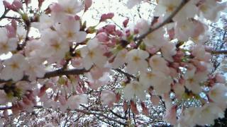 夜桜でない桜