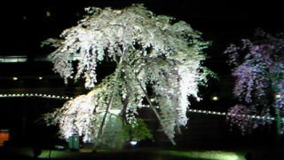 能楽のシテみたいな枝下桜は琵琶湖ホテル前のもの