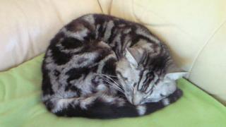 チシャ猫は太めアメショーなんだ