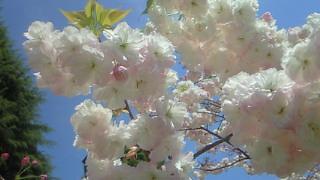 名残の八重桜