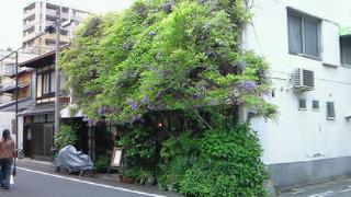 藤棚?いえ京町家です。