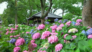 藤森神社のあじさい祭・最寄り駅は京阪墨染です。