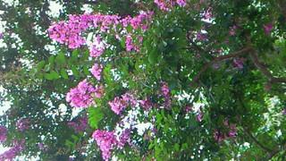 夏の花は百日紅