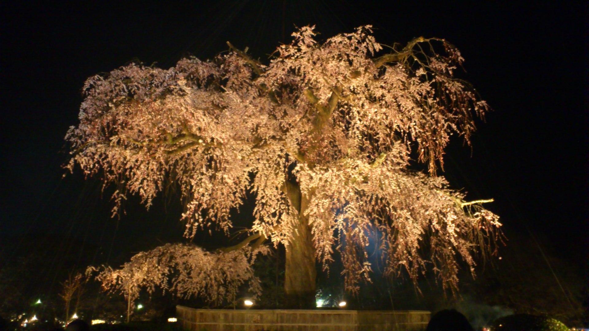 円山公園と祇園白川の桜