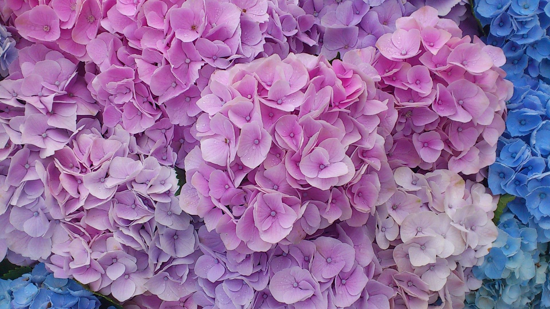 紫陽花がぎっしり