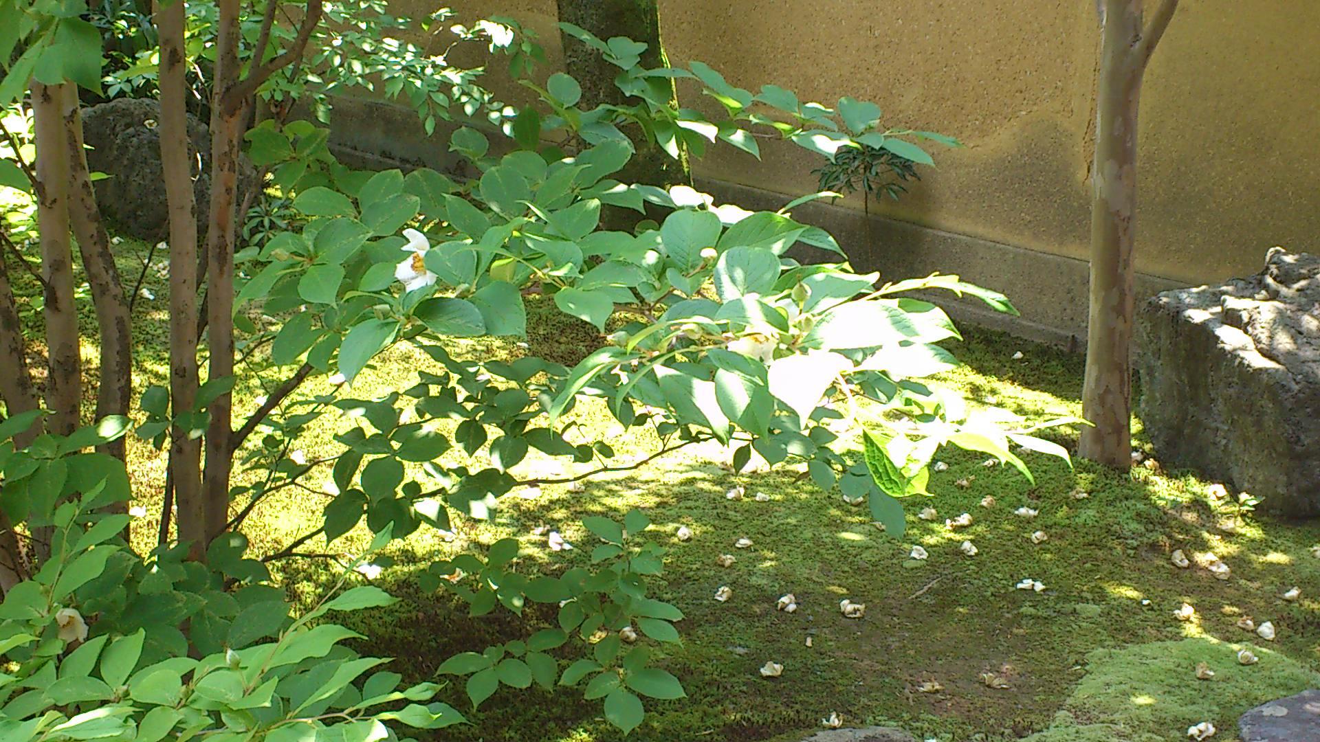 妙心寺東林院の沙羅双樹の花が見頃です。