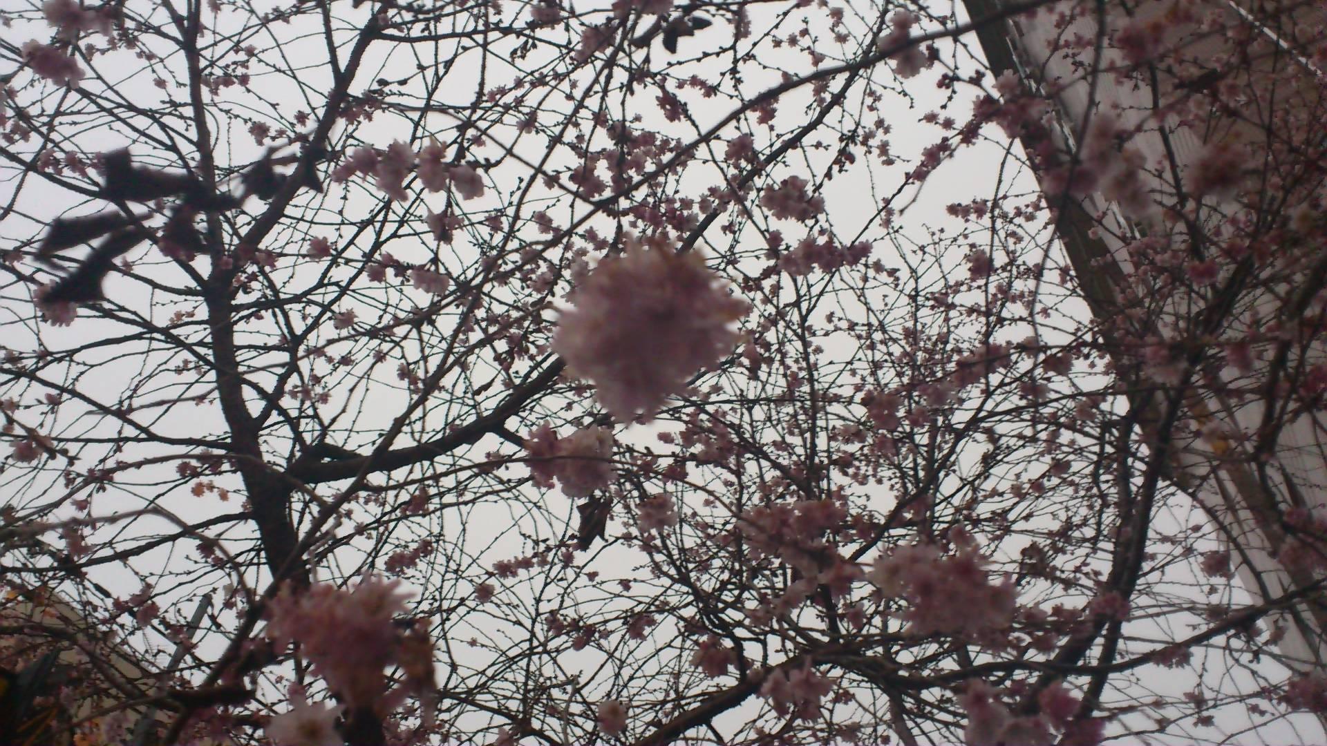 御池の桜は長く咲いています。