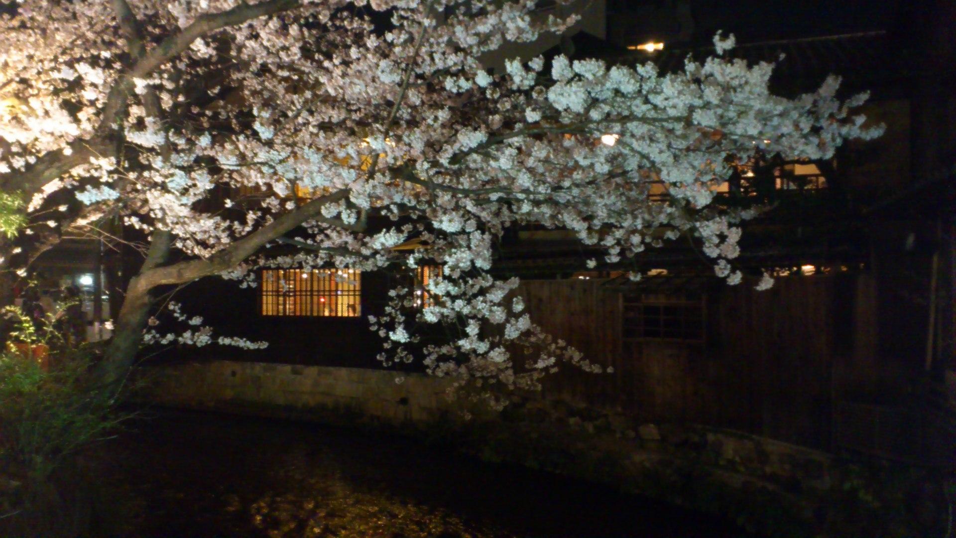 今年の円山公園の桜はこんな感じ。