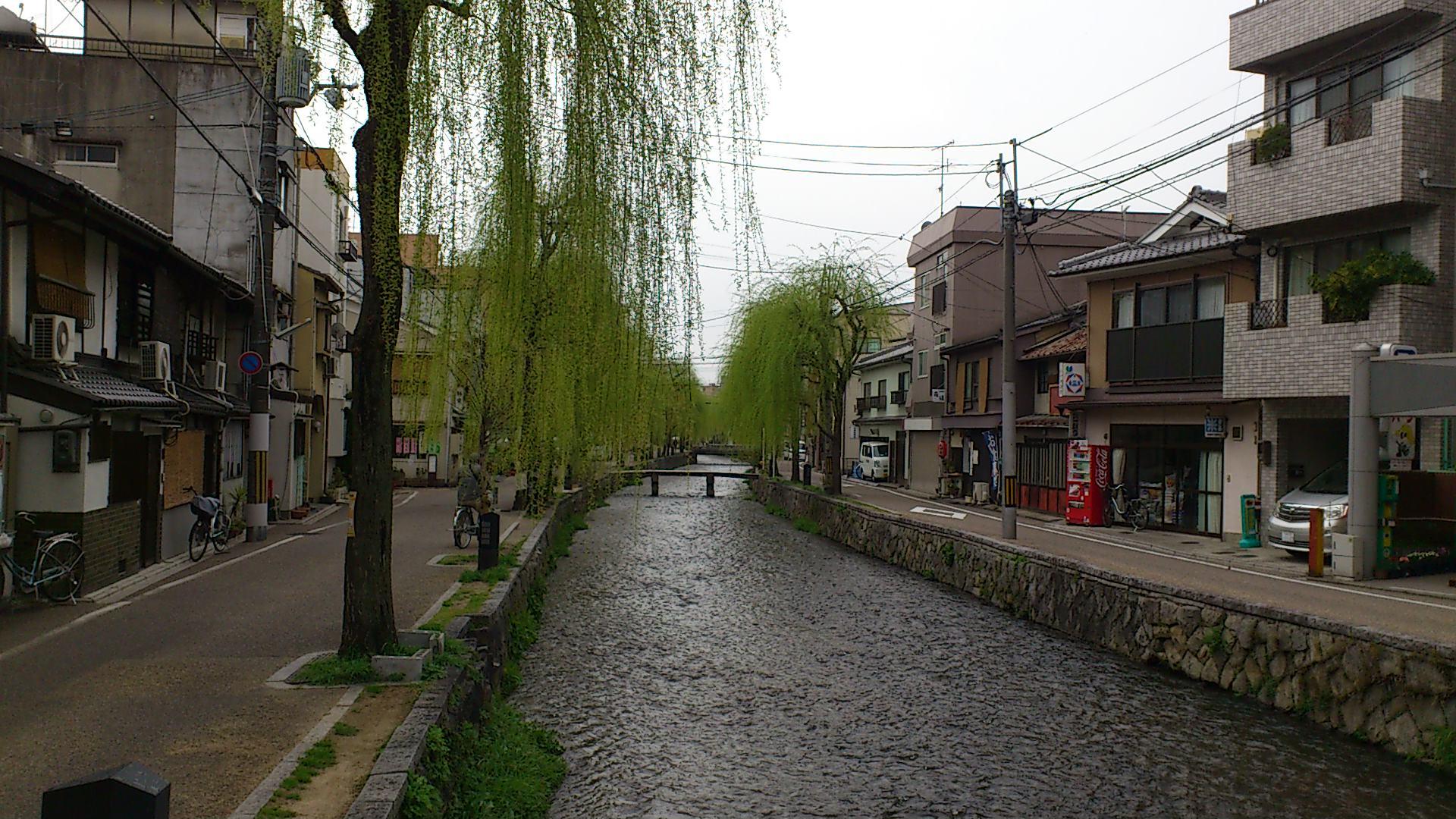 雨の白川の柳。京都の春は忙しわぁ〜