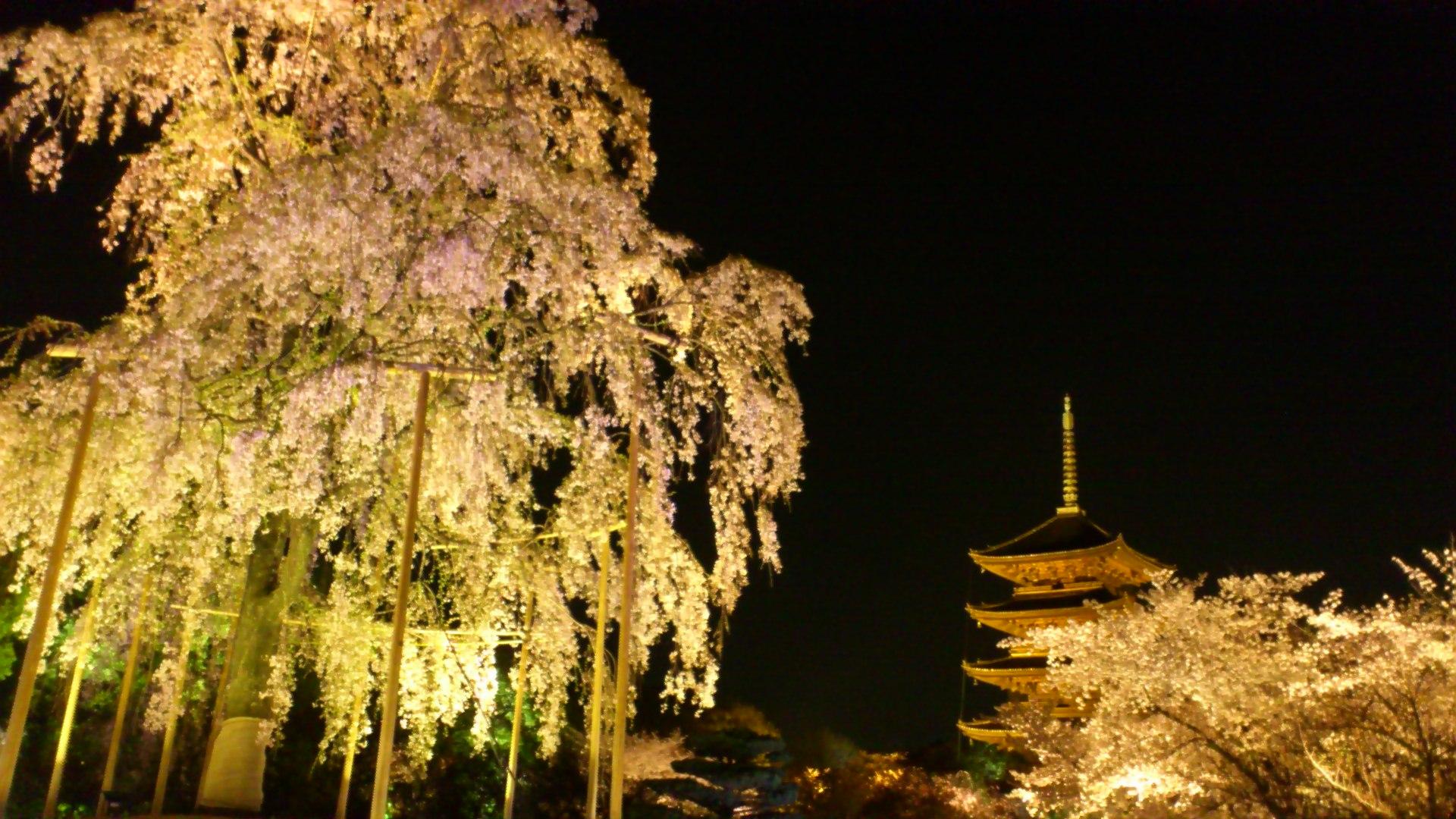 東寺の垂れ桜も美しいです。