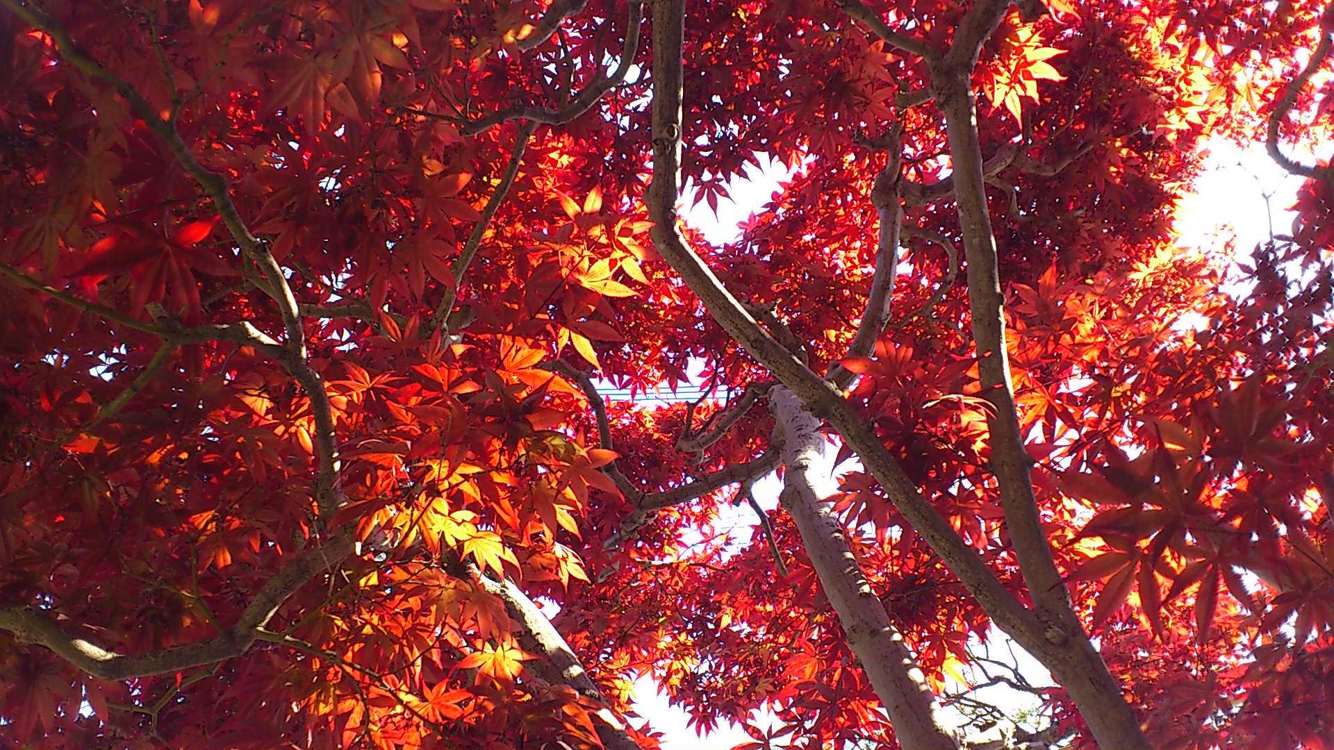 春に紅葉する紅葉もあります。