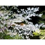 祇園新橋の夜桜